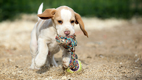 Puppy running with toy rope in mouth