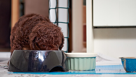 Brown puppy eating from food bowl in kitchen