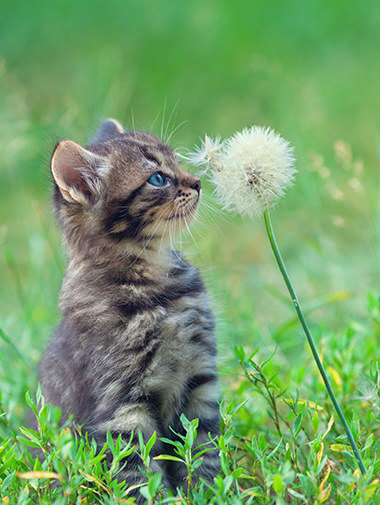 Kitten sitting in grass touching dandelion with its nose
