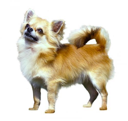 Chihuahua (Long Coat)